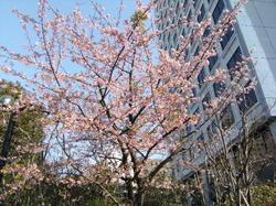 2008sakura_kawadu2