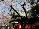 Yasukuni_sakura_0330_2