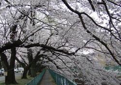 2010sakura_shakujigawa