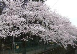 2010sakura_shirakogawa