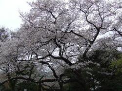 2010sakura_togokouen