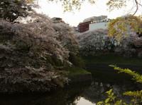 Sakura_chidorigahuchi