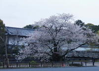 Sakura_hirakawamon_1