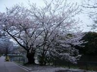 Sakura_hirakawamon_2