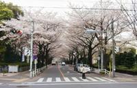 Sakura_musashino_shiyakusho