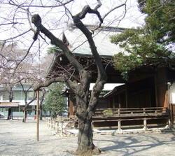 Yasukuni_sakura3_1